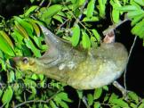 Malayan colugo (Galeopterus variegatus)