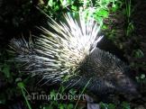 Malayan porcupine (Hystrix brachyura)