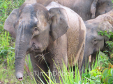 Pigmy elephant (Elephas maximus borneensis)